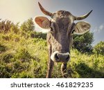 a curious cow on the background ...   Shutterstock . vector #461829235