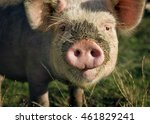 Pig Muzzle   Close Up On A...