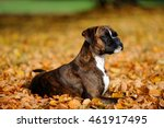 Stock photo boxer dog in the park 461917495