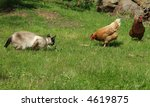 Stock photo domestic cat hunts oblivious chickens 4619875