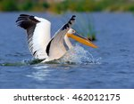 Great White Pelican Flying Ove...