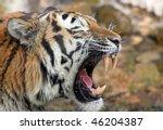 Portrait of a Siberian tiger 02 - stock photo