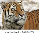 Portrait of a Siberian tiger 04 - stock photo