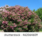 Blooming oleander, pink flowers on the bush - stock photo