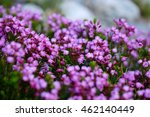 Purple Alpine Heather Flowers...