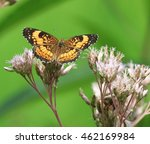 Lovely Silvery Checkerspot...