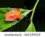 Longan Stink Bug  Tessaratoma...