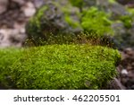 Sphagnum Moss Green Beautiful...