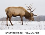 a big bull elk searching for... | Shutterstock . vector #46220785