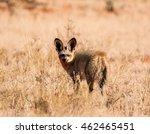 a bat eared fox in savanna in... | Shutterstock . vector #462465451