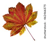 Small photo of A weathered Vine Maple leaf, Acer circinatum, in Fall colors.