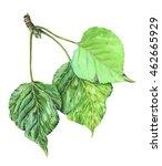 poplar leaves watercolor... | Shutterstock . vector #462665929
