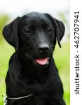 cute black labrador puppy... | Shutterstock . vector #462707941