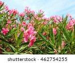 Oleander Flower In The Garden...
