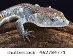 Small photo of Red-lipped Arboreal Alligator Lizard (Abronia lythrochila), Mexico