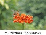 Hummingbird Hawk Moth On Flower