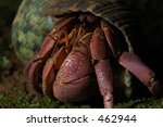 Small photo of Hermit crab Cenobita brevimanus from the south coast of Java Island, Indonesia