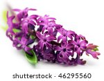 Hyacinth Flower  Shallow Dof