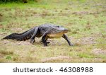 Alligator On The Move
