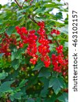 branch of red currants | Shutterstock . vector #463102157