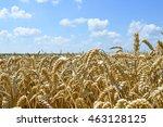 golden wheat field    Shutterstock . vector #463128125
