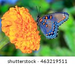 A Red  Spotted Purple Butterfl...