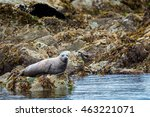 Spotted Adult Harbor Seal...