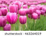 Close Up Of Pink Tulips In A...