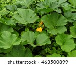 Inflorescences Flowers Pumpkin...