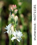 Close Up With Tuberose Flower...