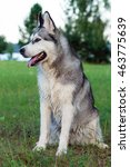 Small photo of fluffy, adult dog alaskan malamute sitting in nature late afternoon, portrait in full growth, dog, doggy, pawl, doggie
