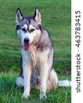 Small photo of wet fluffy, adult dog alaskan malamute sitting in nature late afternoon, portrait in full growth, looking directly at the camera , dog, doggy, pawl, doggie