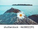 Lone Wild Chamomile Flowers On...