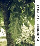 Small photo of Vintage faded Green leef of an oak tree aka Quercus