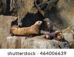 Stellar Sea Lion On Rock At Th...