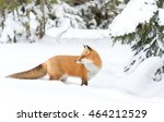 Red Fox  Vulpes Vulpes  In...