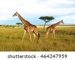 pair of giraffes on the massai... | Shutterstock . vector #464247959