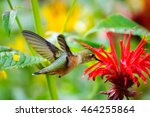 hummingbird eating flower | Shutterstock . vector #464255864