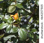fragrant romantic beautiful... | Shutterstock . vector #464257505