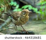 closeup of a juvenile blackbird ... | Shutterstock . vector #464318681