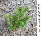 Small photo of Picea; abies, conifer, sprout