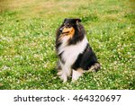 The Tricolor Rough Collie ...