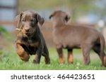 Stock photo doberman puppies 464423651