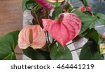 Anthurium Flowers In Greenhouse
