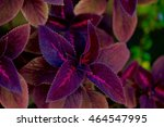 Small photo of COLLECTION OF COLEUS LEAVES
