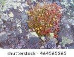 Arctic Desert Plants  Foliose...