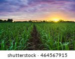 Sugarcane Field At Sunset.