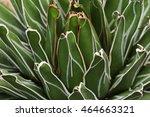 Small photo of Agavaceae: Agave victoria-reginae Close Up