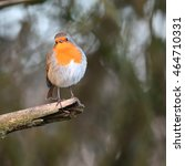 Small photo of Robin, also known as Robin Redbreast, perched on a dead branch, facing the camera