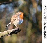 Small photo of Robin, also known as Robin Redbreast, perched on a dead branch